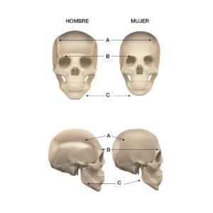 Dimorfismo sexual: diferencias entre cráneo masculino y femenino