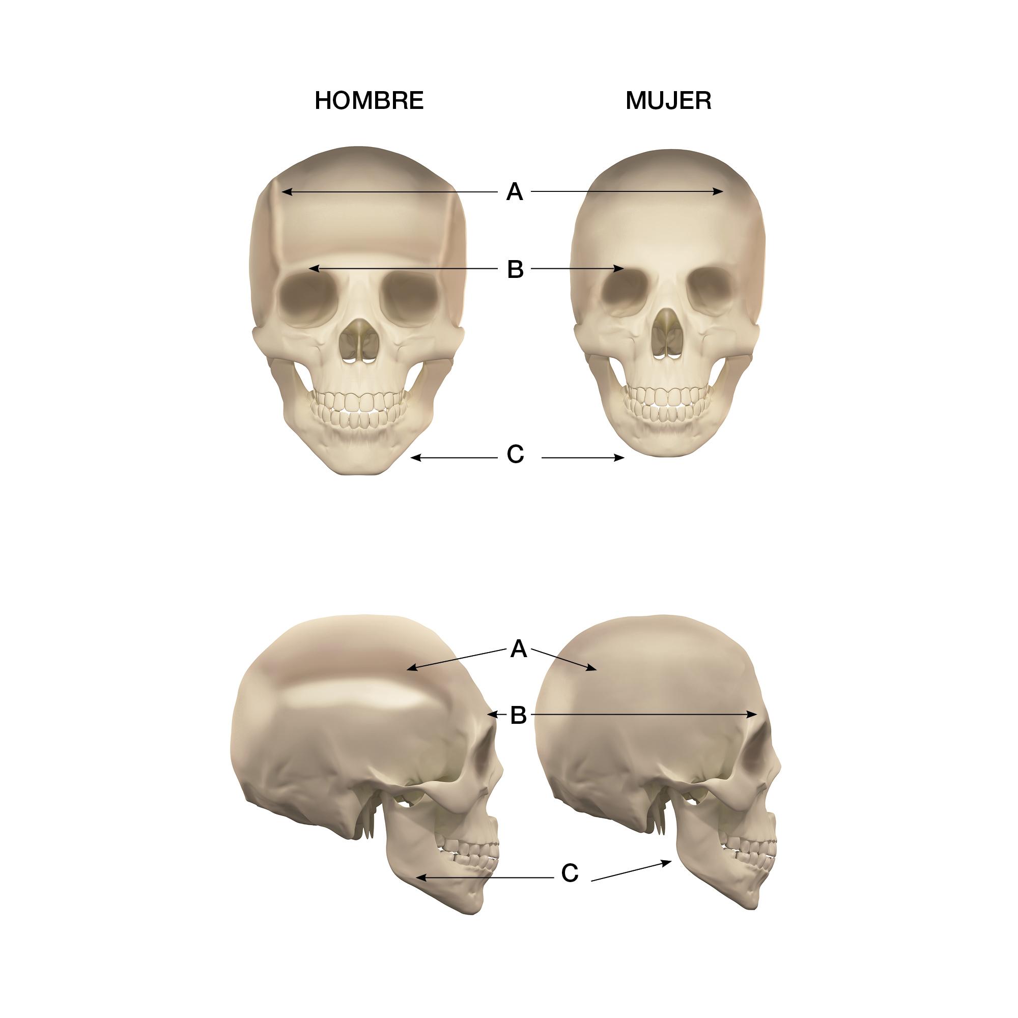 Diferencias entre cráneo masculino y femenino